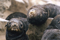 Northern Fur Seal Image