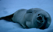 Crabeater Seal Image
