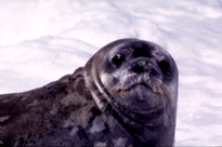 Weddell Seal Image