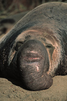 Northern Elephant Seal Image