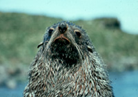 Antarctic Fur Seal Image