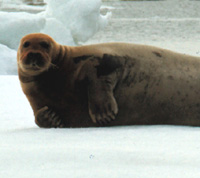 Bearded Seal Image