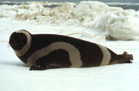 Ribbon Seal Image
